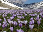 Crocuses in bloom in Campo Imperatore