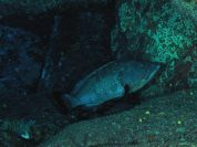 Big brown grouper in a large cavity among the boulders