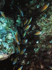 A shoal of ornate wrasses crowds into the rock fissures to eat the eggs of the damselfish