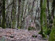 Fallow deer specimen in the mountains of Madonie