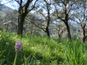 Mount Brione, olive trees and orchids