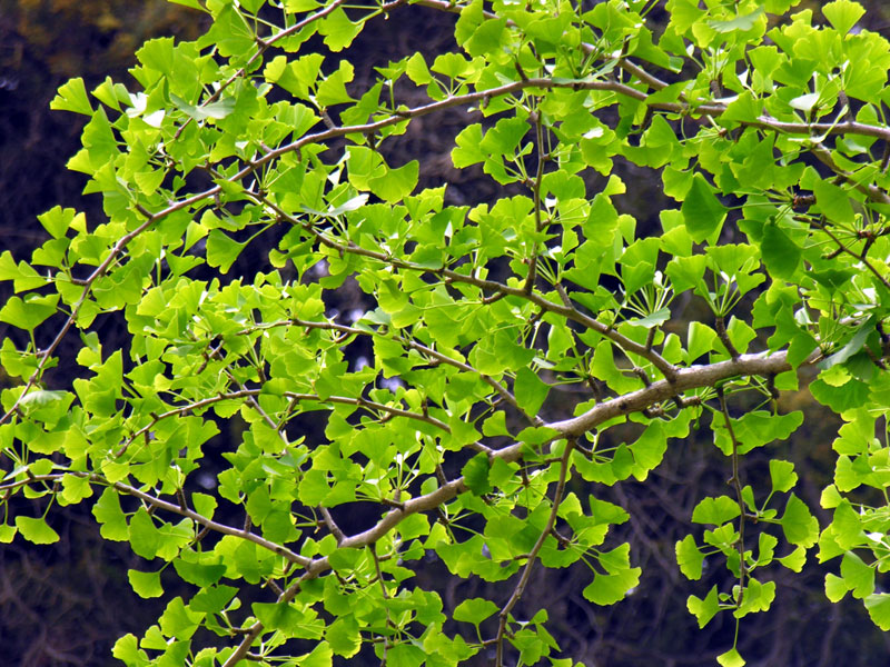 Ginkgo biloba. A very ancient and frequently cultivated plant,
