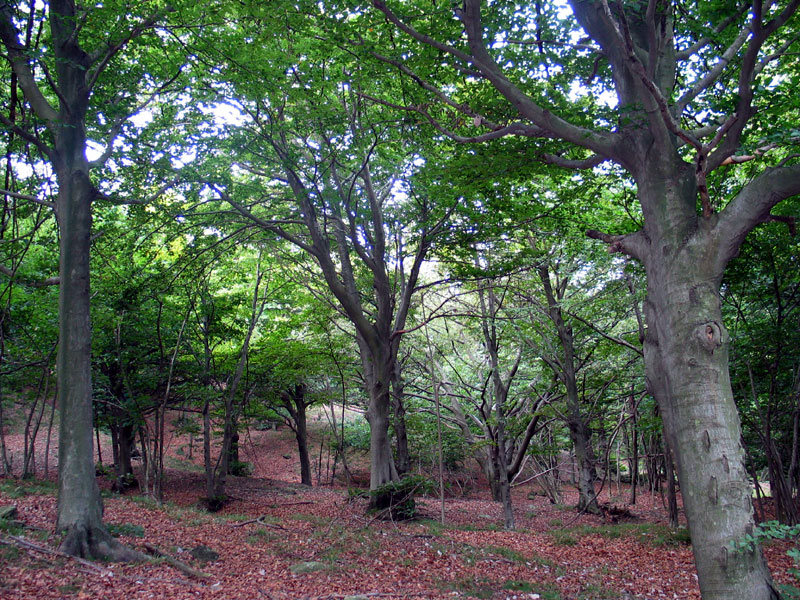 The beech tree woodland