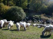 Cornigliese Sheep