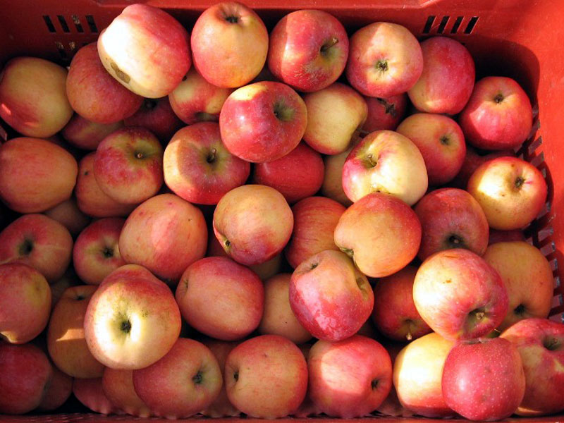 Apples from Carnia