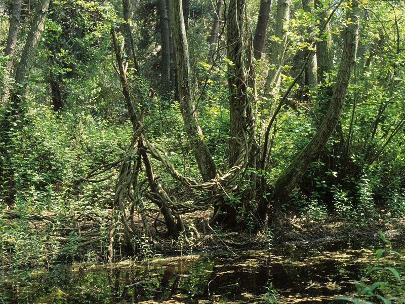 Swamp with silk vine