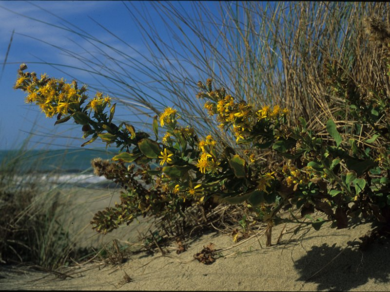 European goldenrod of the beaches (endemic species)