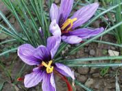 Saffron in the area of Orvieto