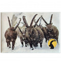 Photographic magnete of the Gran Paradiso National Park - subjects: ibexes in the snow