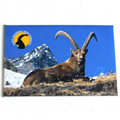 Magnet with alpine ibex of the Parco Nazionale Gran Paradiso