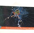 Postcard Argiope Spider