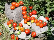 Piennolo cherry tomatoes of Vesuvius PDO