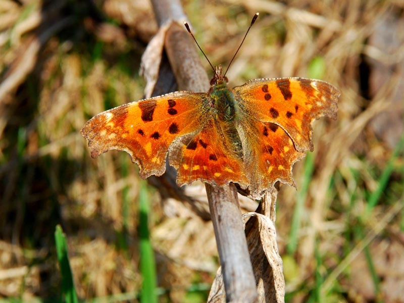 Polygonia with jagged wings