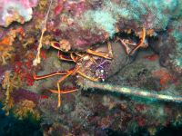 Palinurus elephas Spiny lobster