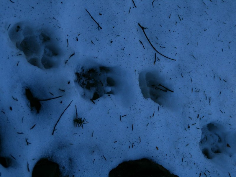 The wolf traces on the snow