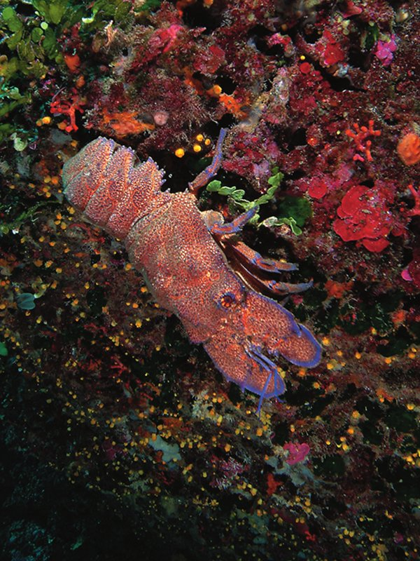 A Mediterranean slipper lobster in a dark ravine