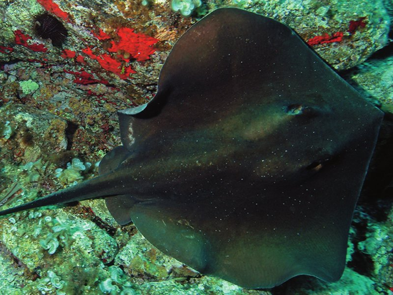 A big Tortonese's stingray swims on the granite rock