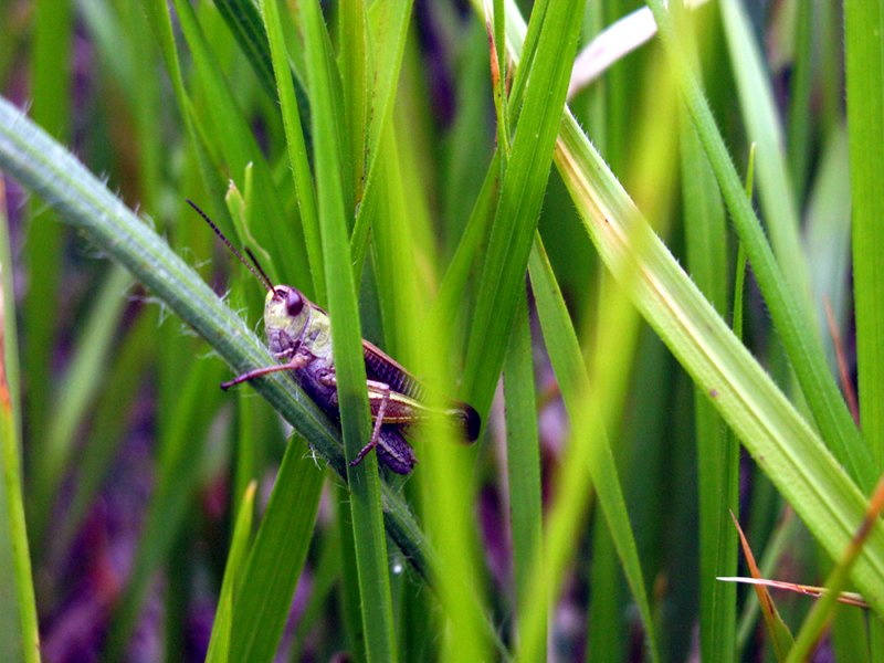 Young orthopteran in Campo Imperatore