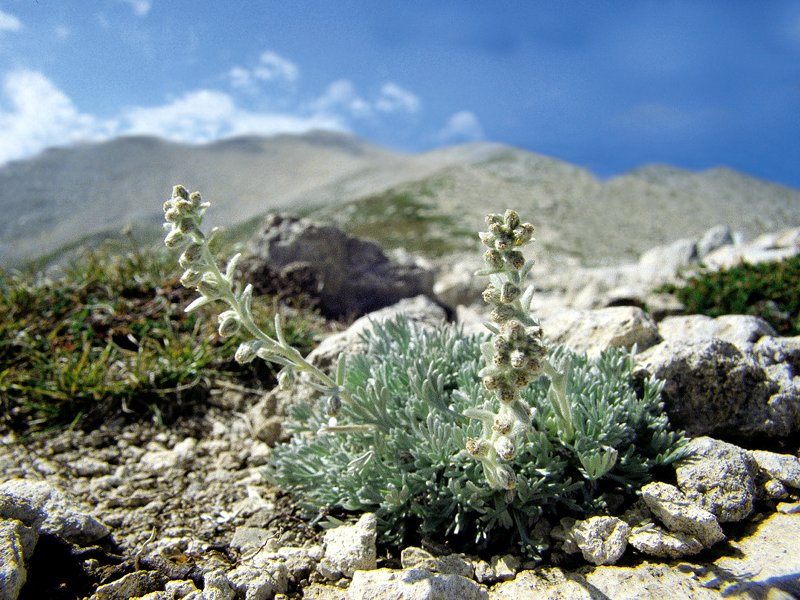 Artemisia umbelliformis susp. eriantha