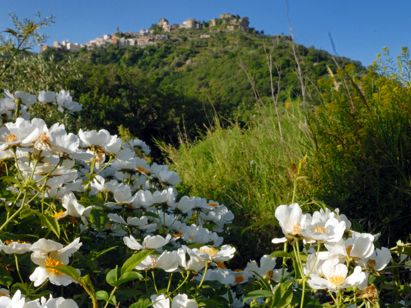 Dog rose in bloom with Castiglione di Sicilia in the background, housing the Research, Training, and Environmental Education Center on the River Ecosystems