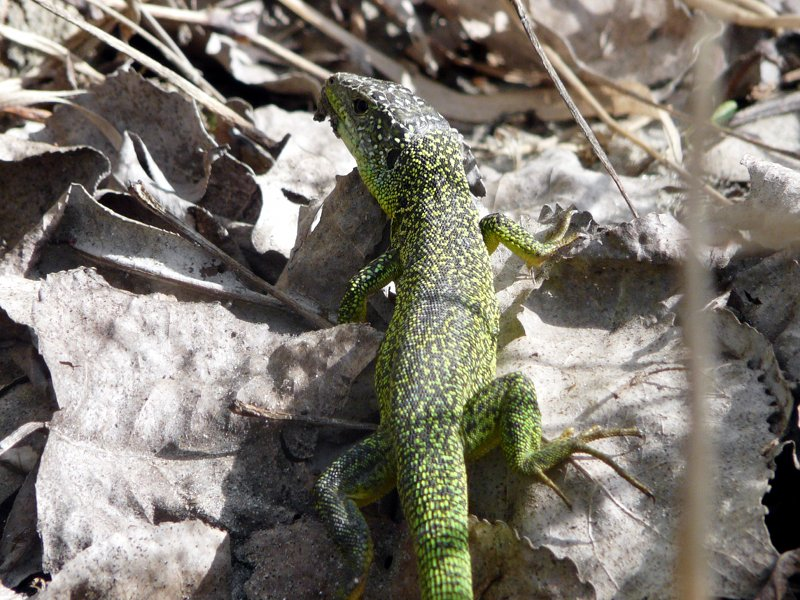Lacerta viridis