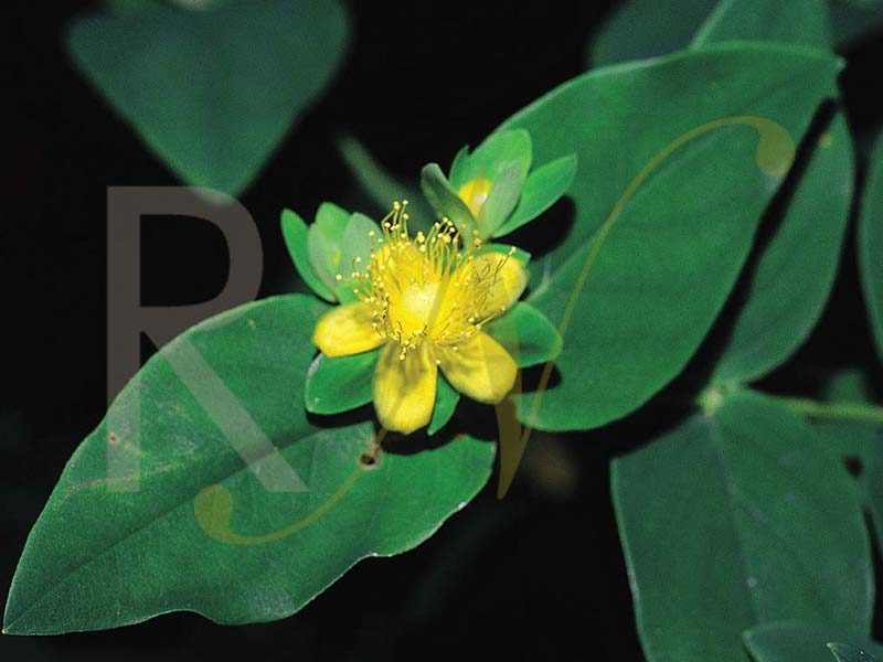 The big flowers of Hypericum androsaemum