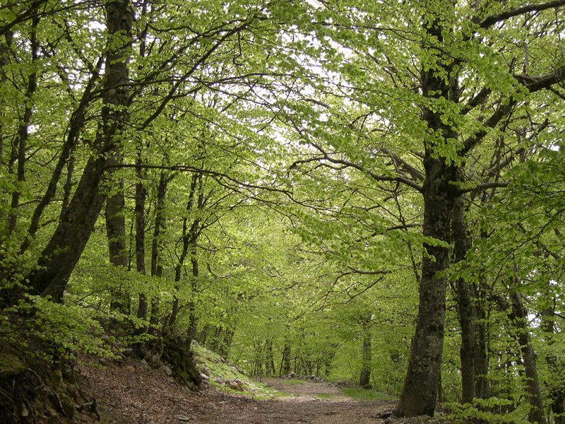 Beech tree woodland in Piano Battaglia