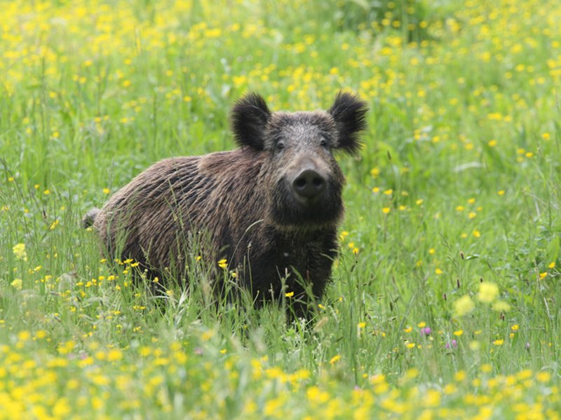 Wild boar