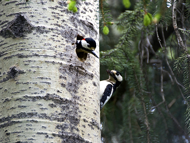 Couple of Great Spotted Woodpeckers