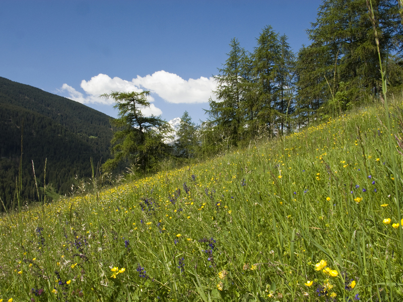 Meadows in Valfurva