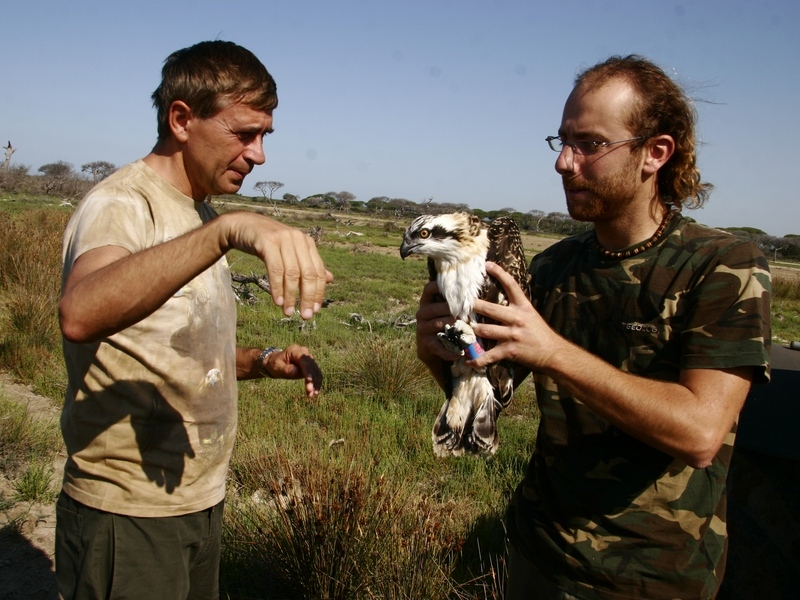 Sammuri, Osprey ringing activity