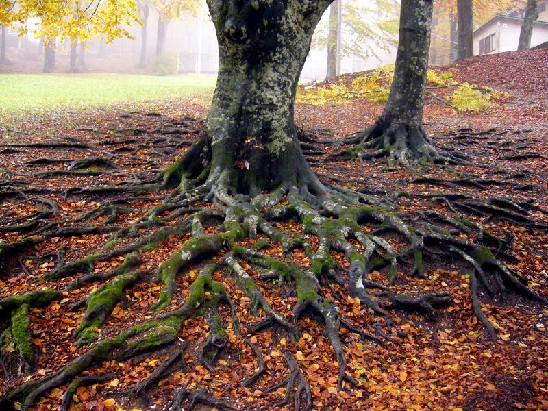 Roots of a centuries-old beech in autumn