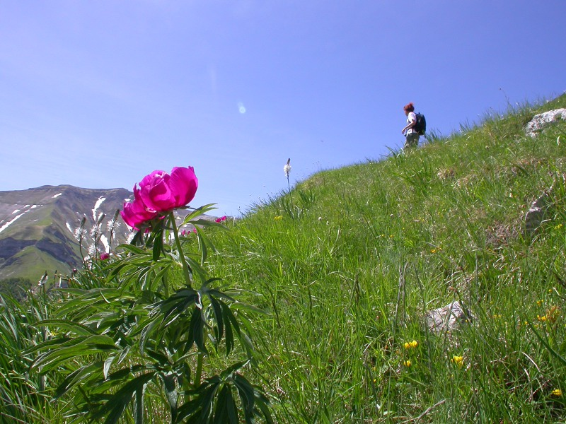 Mount Priora's southern side: hiker and peony in bloom