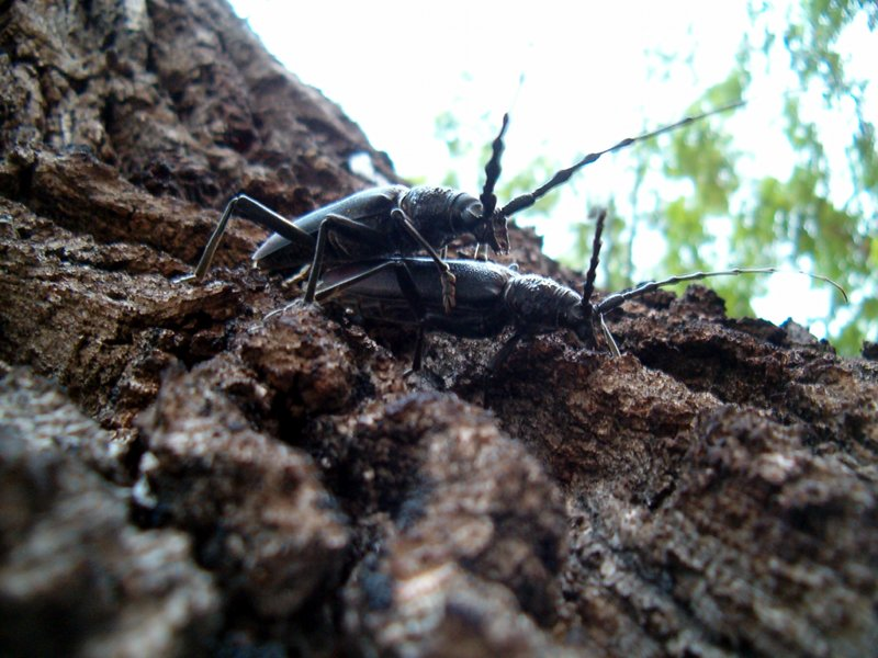 Protected beetle (Cerambix cerdo) on a centuries-old english oak