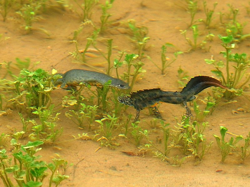 Northern crested newt - courting.