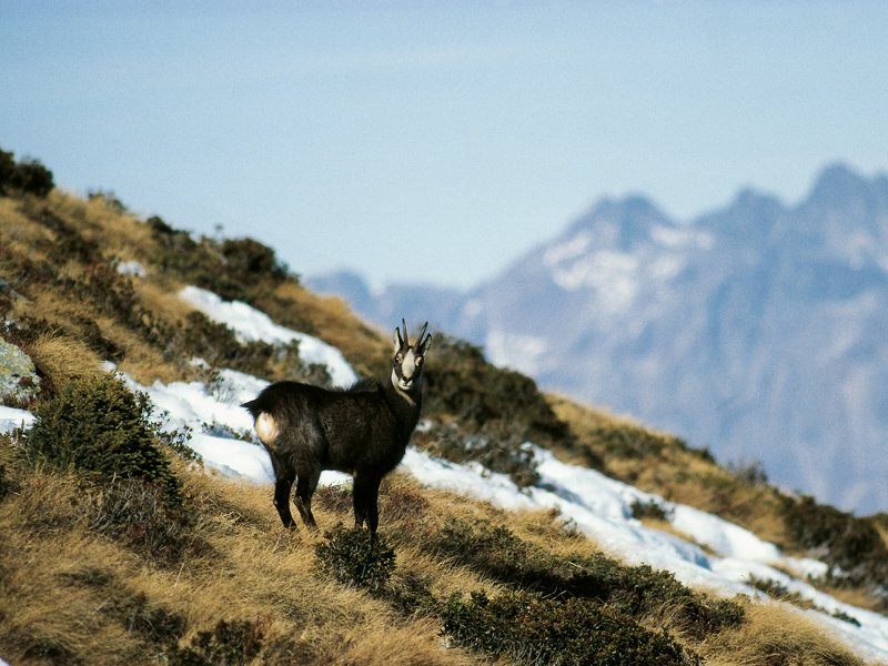A chamois in the Brandet Valley. The Valtellina summits in the background