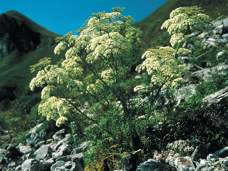 Mountain lovage