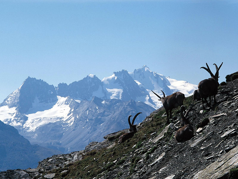 Wild ibex and Gran Paradiso massif
