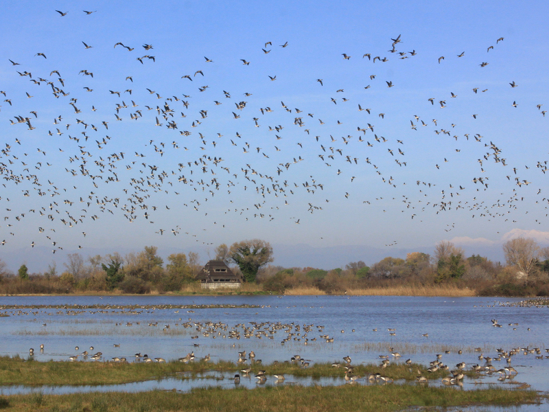 Geese above Cona