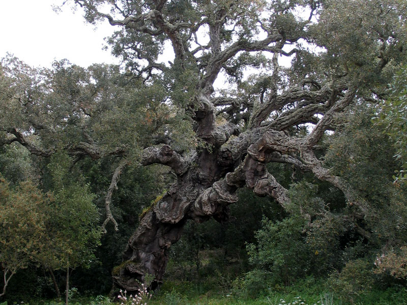 Specimen of centuries-old cork oak