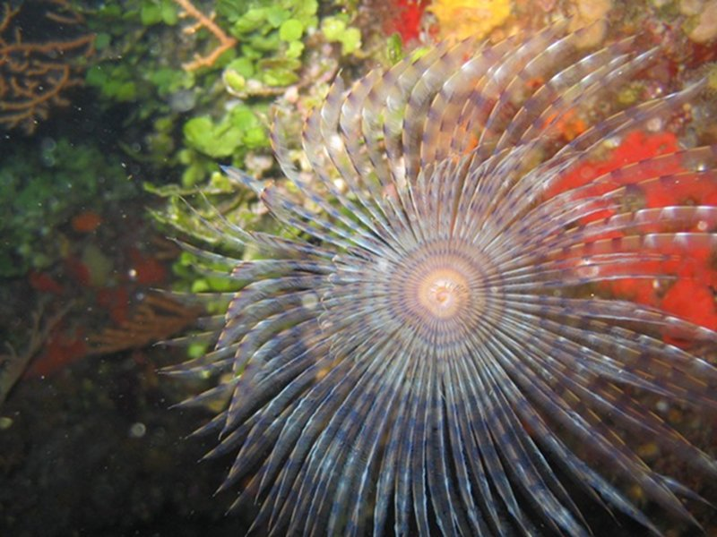 European fan worm
