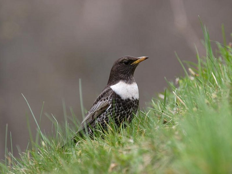 High-mountain birds - Ring Ouzel