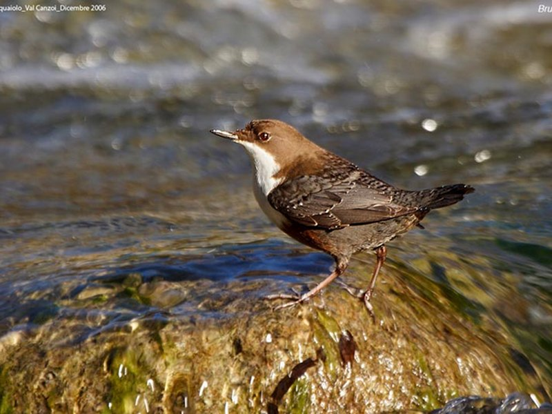 Birds of the torrent, White-throated Dipper