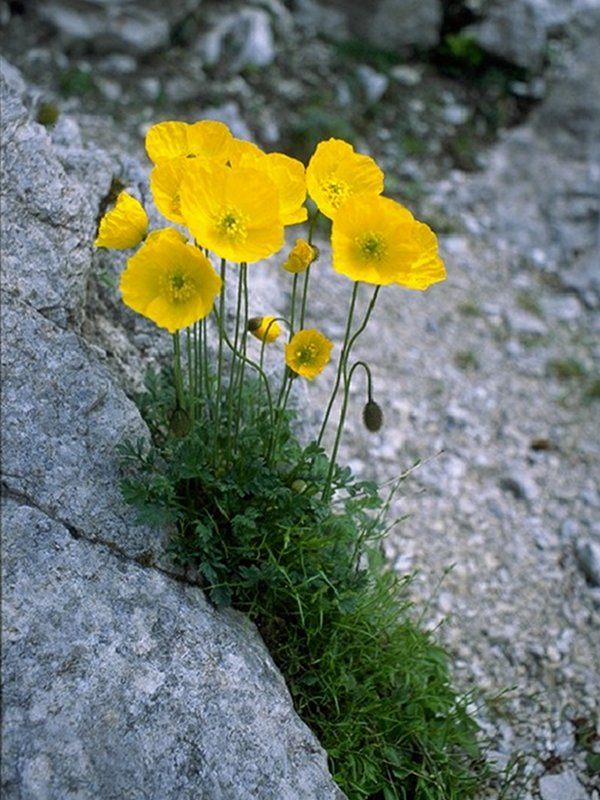 Yellow alpine poppy