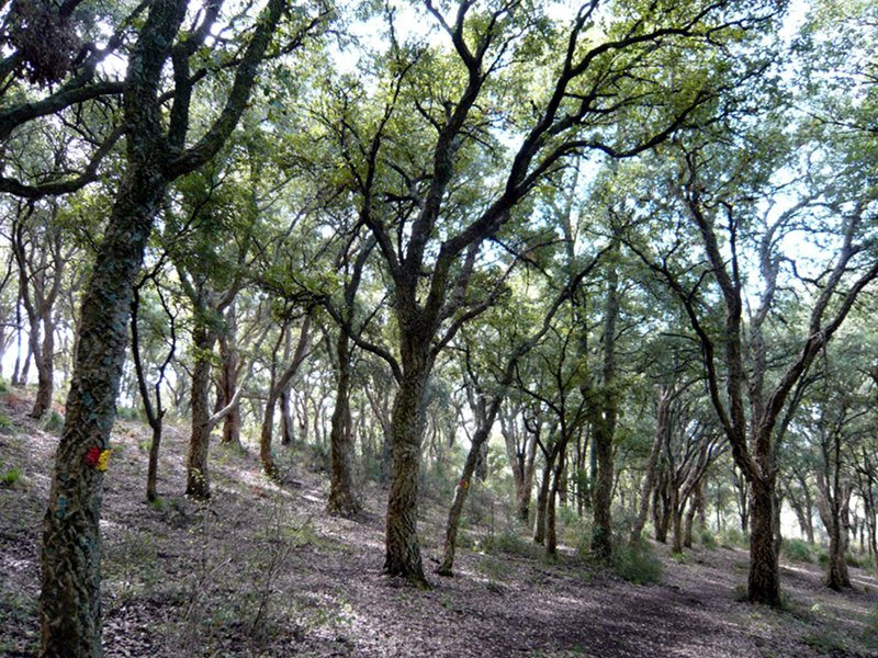 Cork oak woodland
